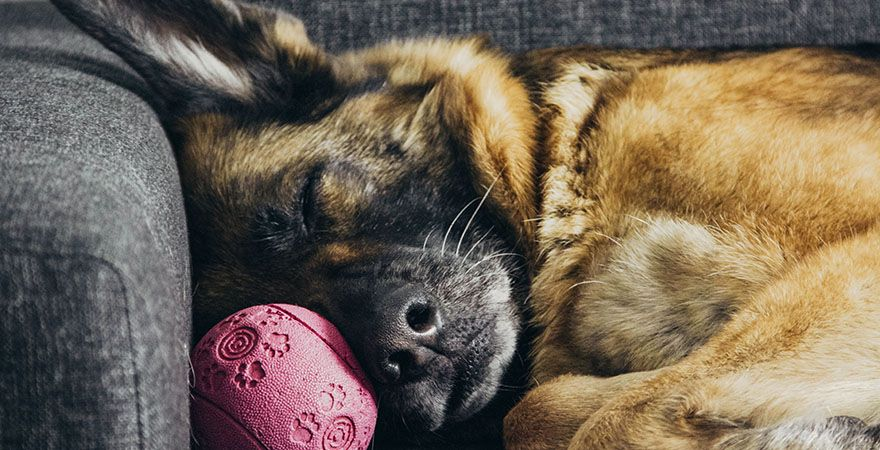 german shepherd dog sleeping with pink ball on gray couch at home